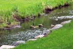 Golden valley-creek goslings