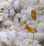 Snow-leaf